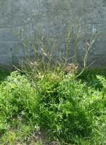 grevillea olivacea (grevillea à feuilles d'olivier)