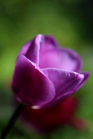 Tulipes 2020 : Magic Lavender