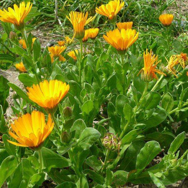 Souci des jardins ou Calendula - Graines del Pais, semences biologiques