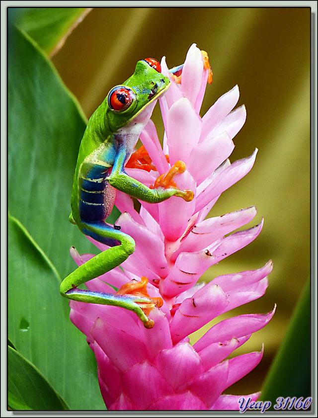 Blog de images-du-pays-des-ours : Images du Pays des Ours (et d'ailleurs ...), Grenouille (ou Phylloméduse) aux yeux rouges (Agalychnis callidryas) - Tortuguero - Costa Rica