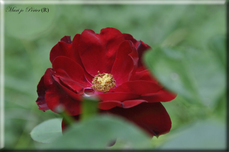 Toujours une Rose du jardin