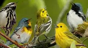 Chants d'oiseaux ...