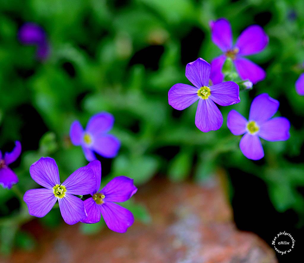 Mon jardin - quelques fleurs (4)