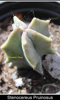 Stenocereus Pruinosus