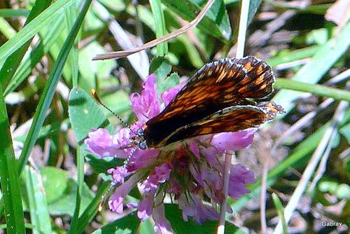 Le papillon en promenade