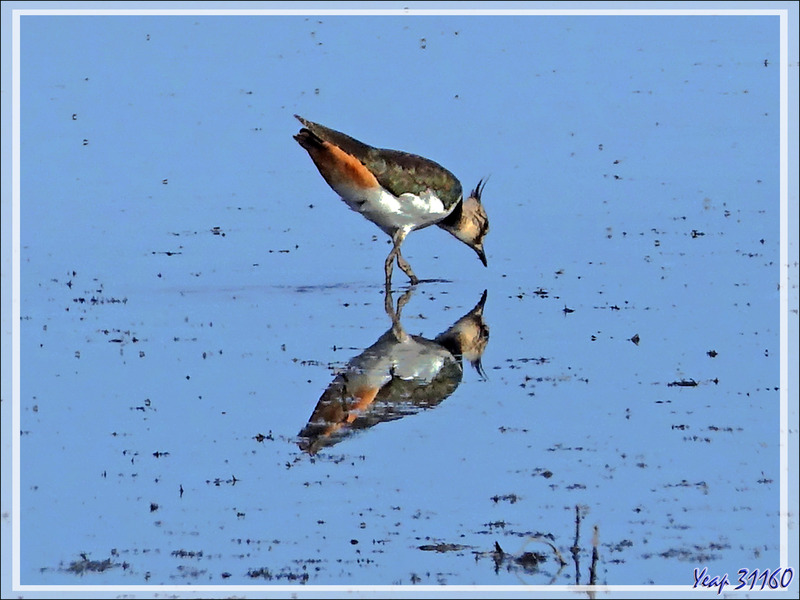 Vanneau huppé, Northern Lapwing (Vanellus vanellus) - La Couarde-sur-Mer - Ile de Ré - 17