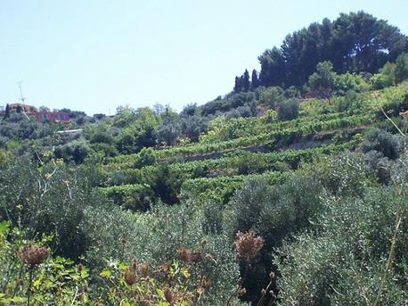 Vignes en cultures associées en Sardaigne
