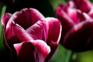 Tulipes Arabian Mystery5