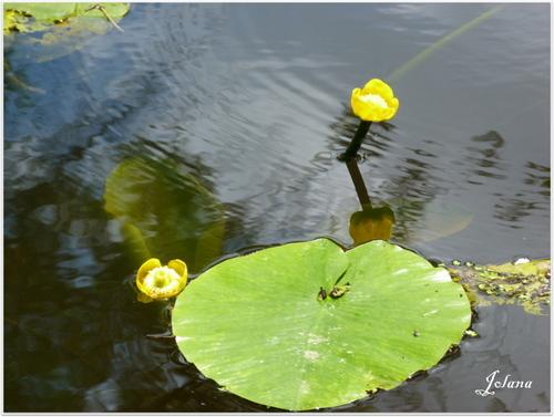 nénuphars jaunes joelle