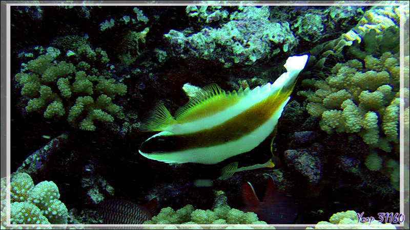 Poisson cocher du Pacifique ou Hénioche bouche d'or ou Taurillon à trois bandes, Threeband pennantfish (Heniochus chrysostomus) - Tumakohua (passe sud) - Atoll de Fakarava - Tuamotu - Polynésie
