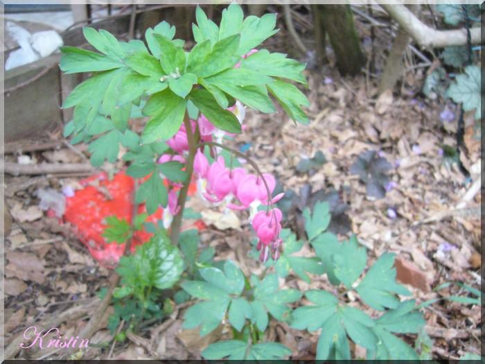 Premières fleurs vivaces