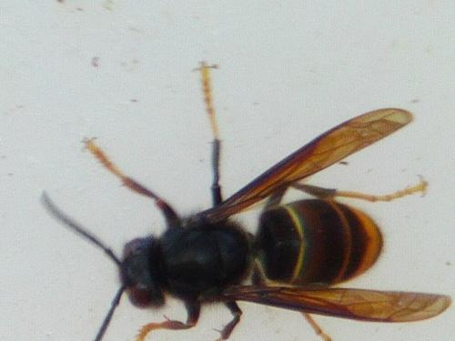 frelon asiatique la faune et la flore autour des ruches