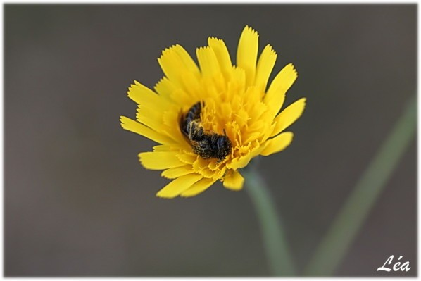 Insectes-2-2051-petite-abeille.jpg