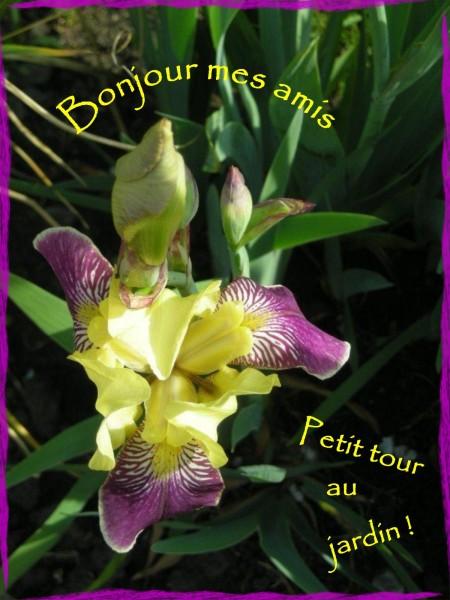 iris du jardin mai 2012 (3)