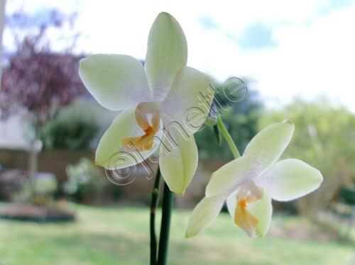 LES ORCHIDEES