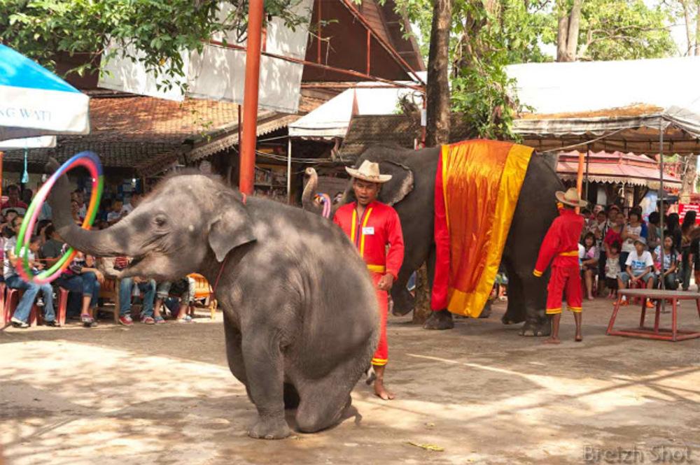 Jeux d'éléphants Ayutthaya-  Docilité de l'animal et qualité du dressage vont de pair