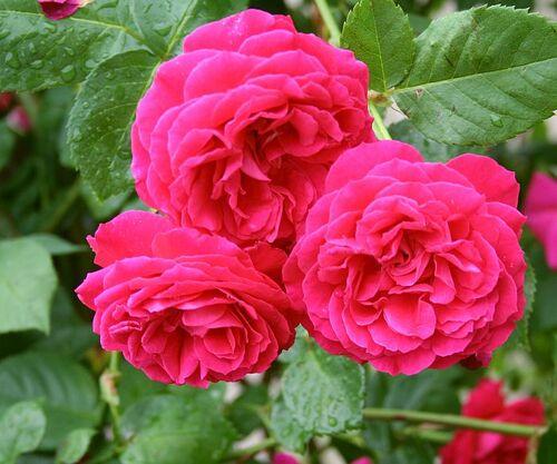 Les roses de Warren : La Merveille Ecarlate