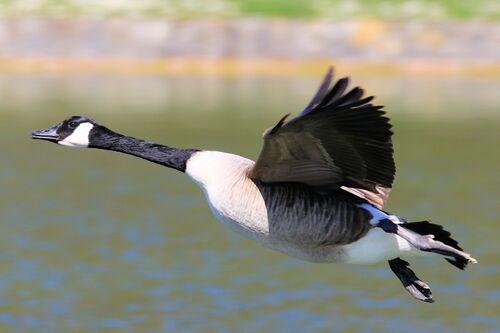 Bernache du Canada Canada Goose)
