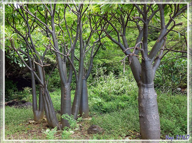 Baobabs de Madagascar (Adansonia madagascariensis) - Grande Mitsio - Madagascar