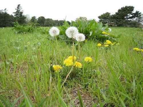 Vertus médicinale des plantes sauvages : Pissenlit