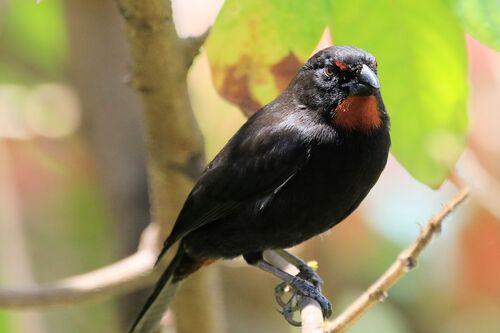Sporophile Rougegorge (Lesser Antillean Bullfinch)