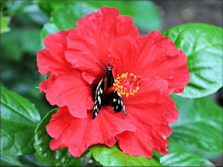 Photos d'Hibiscus (ile aux papillons)