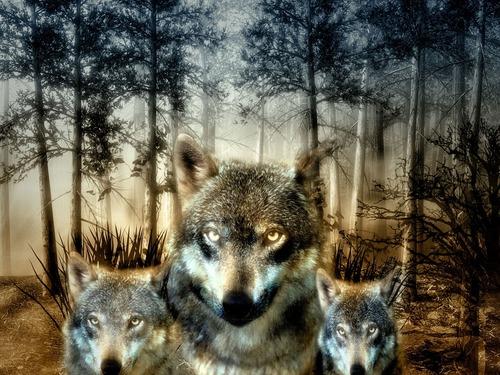 Des loups et des hommes...