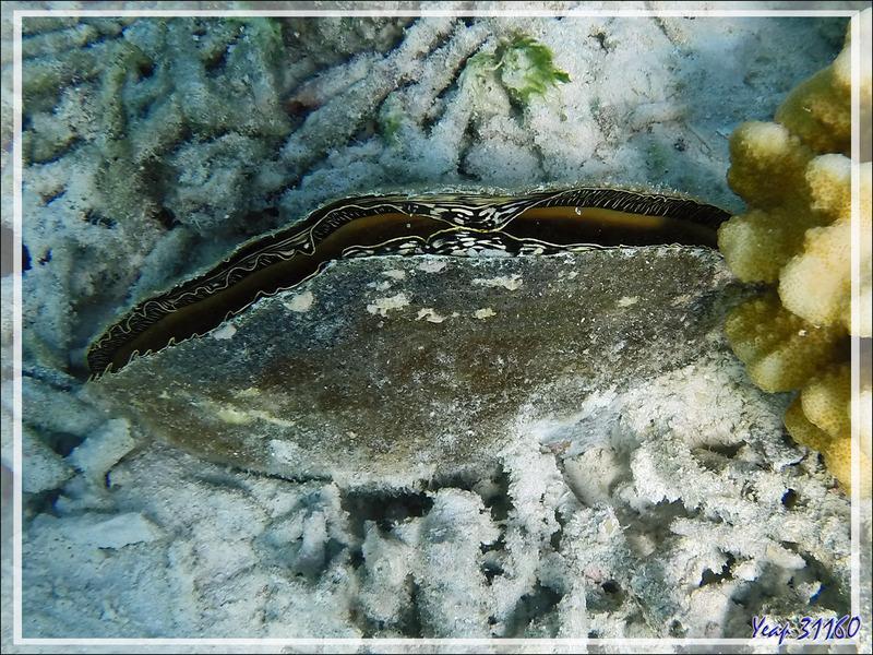 Snorkeling : Jambonneau de mer, Pinne marine, Flag pen shell (Atrina vexillum) - Moofushi - Atoll d'Ari - Maldives