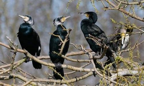 Pétition : Fin des tirs de régulation des grands Cormorans