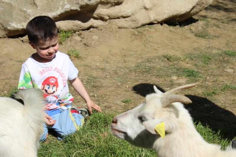 Parmi les chèvres
