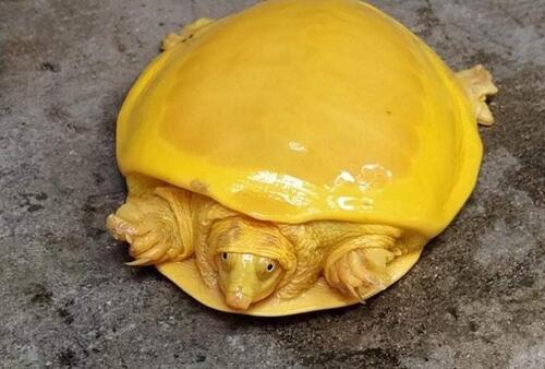 Une deuxième tortue jaune découverte en Inde