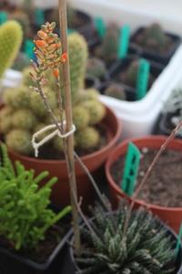 Aloe Haworthioïdes en fleur