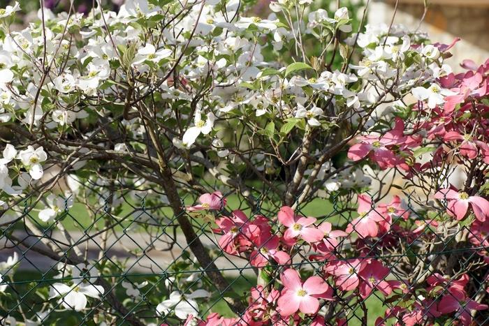 cornouiller du japon blanc et rose
