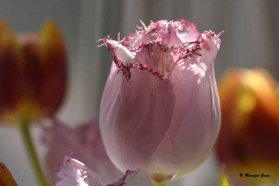 Tulipe tout en dentelle
