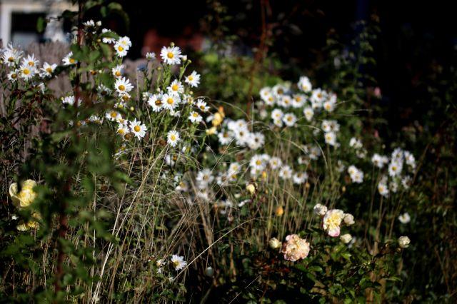 Des Compagnes pour mes Rose : Leucanthemella serrotina