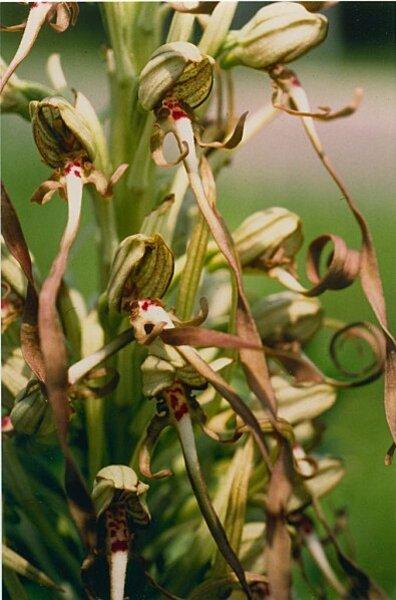 orchis-bouc2.jpg
