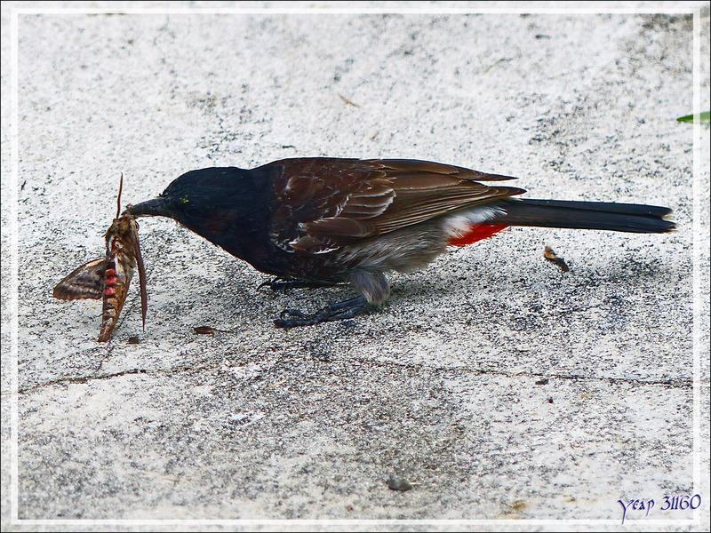 Le Bulbul à ventre rouge et le malheureux papillon de nuit - Huahine - Polynésie française