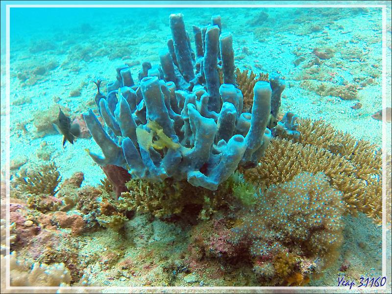 Éponge tubulaire Haliclone pâle, Colonial tube-sponge (Siphonochalina siphonella) - Nosy Tsarabanjina - Archipel des Mitsio - Madagascar