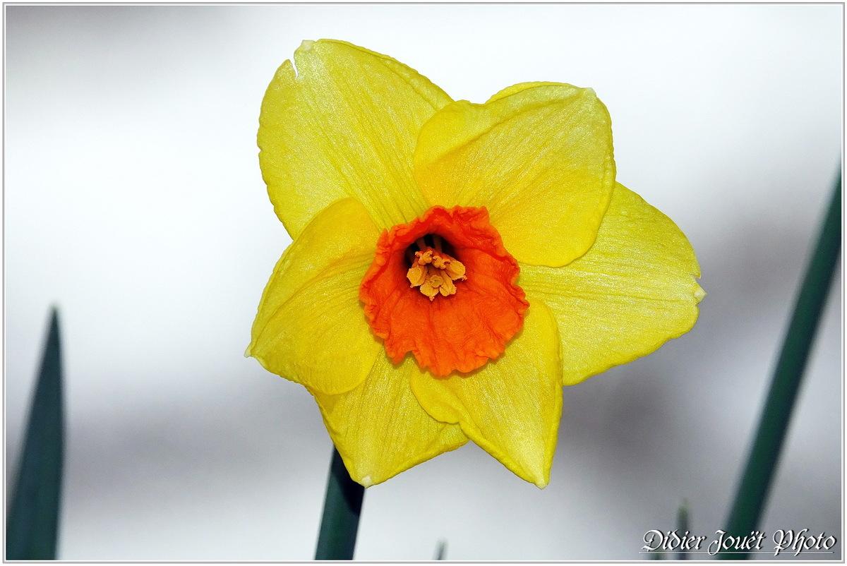 Narcisse (3) - Narcissus