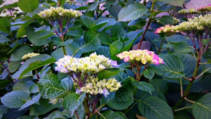 Floraison des Hortensias