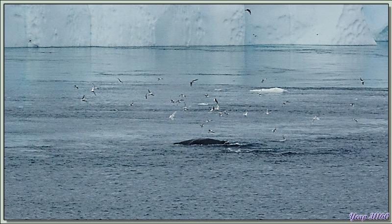 Retour à Sermermiut où on va essayer d'observer, dans la baie, des baleines d'un peu plus près - Ilulissat - Baie de Disko - Groenland