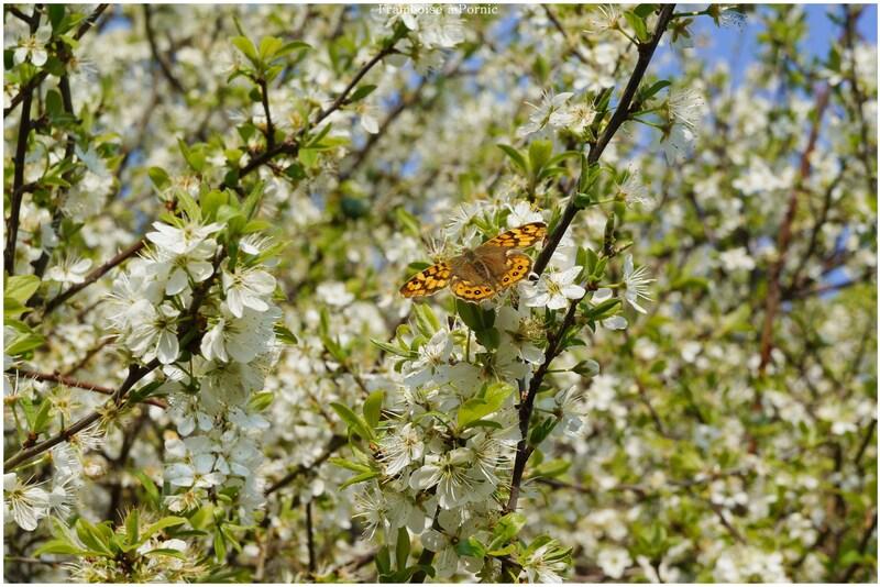 Papillons le Tircis