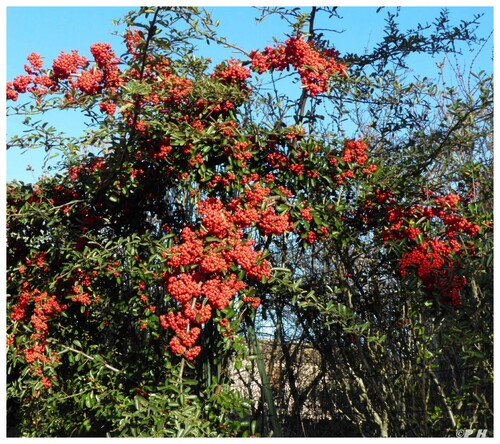 Buisson ardent ou Pyracantha