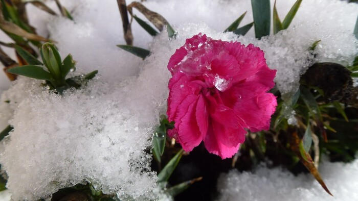Fleurs dans la neige