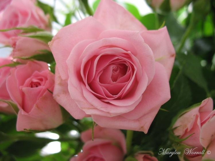 Une rose demon jardin