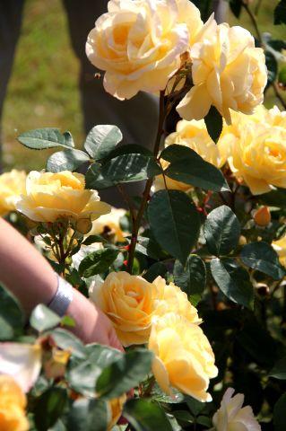 Concours International de Roses Nouvelles du Roeulx - Jugement de juin 2017
