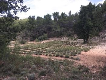 Un autre champ de lavande