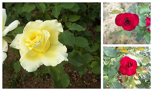 roses-le-12-juillet-2011.jpg
