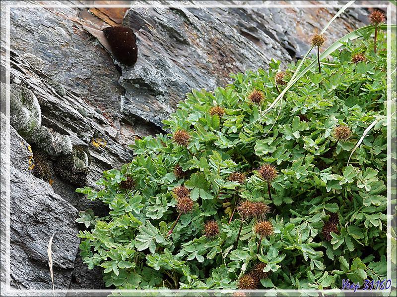 Lampourde Magellan (Acaena magellanica) - Whistle Cove - Fortuna Bay - Géorgie du Sud