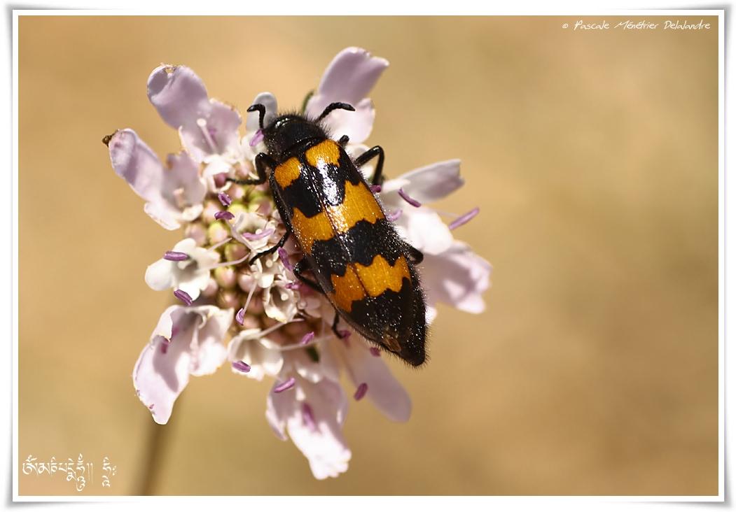 Mylabre inconstant (Mylabris variabilis)